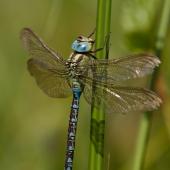 aeshna-viridis-8057