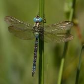 aeshna-viridis-8066
