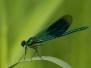 Calopterygidae - Motýlice