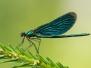 <em>Calopteryx virgo</em> - Motýlice obecná