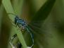 <em>Coenagrion ornatum</em> - Šidélko ozdobné