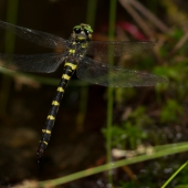 cordulegaster-bidentata-female-_mg_7473