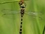 Cordulegastridae - Páskovci