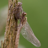 Cordulia aenea - lesklice měděná, čerstvá samička u exuvie