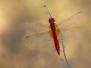 Libellulidae - Vážky