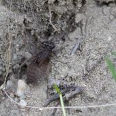 Epitheca bimaculata - Lesklice velka 0620