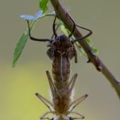 Epitheca bimaculata - Lesklice velka 0686-Edit-2