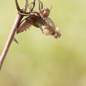 Epitheca bimaculata - Lesklice velka 0690