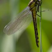 gomphus-vulgatissimus-teneral-female-img_6640