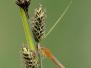 <em>Ischnura pumilio</em> - Šidélko menší