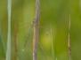 <em>Lestes barbarus</em> - Šídlatka brvnatá