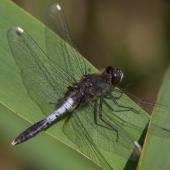 leucorrhinia-caudalis-_mg_1397-samice-teneral