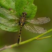 leucorrhinia-dubia-0201-samice-teneral