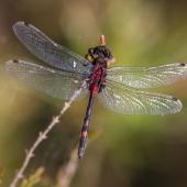 leucorrhinia-dubia-0830-samice-teneral