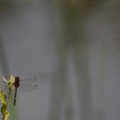 leucorrhinia-dubia-0854-samice-teneral