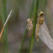 leucorrhinia-dubia-2523-samice-teneral