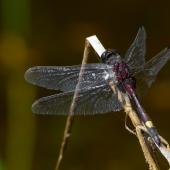 leucorrhinia-pectoralis-2758-samice-teneral