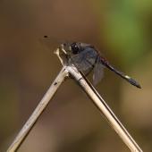 leucorrhinia-pectoralis-2760-samice-teneral