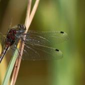 leucorrhinia-pectoralis-7963-samice-teneral