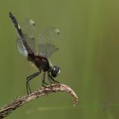 leucorrhinia-pectoralis-8019-samice-teneral