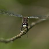 leucorrhinia-pectoralis-8038-samice-teneral