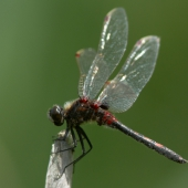 leucorrhinia-rubicunda-8178