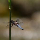 libellula-depressa-2920-edit-samice-teneral