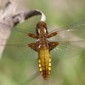 libellula-depressa-9220-samice-teneral