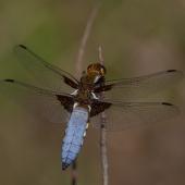libellula-depressa-9250-samice-teneral