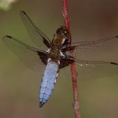 libellula-depressa-9275-samice-teneral