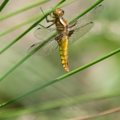 libellula-depressa-img_2333-samice-teneral