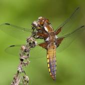 libellula-depressa-img_2849-samice-teneral