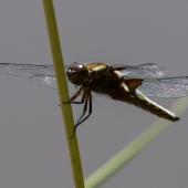 libellula-depressa-img_5247-samice-teneral