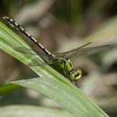 ophiogomphus-cecilia-1361