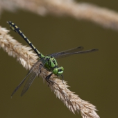 ophiogomphus-cecilia-3687