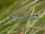 Platycnemidae - Šidélka