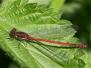 <em>Pyrrhosoma nymphula</em> - Šidélko ruměnné