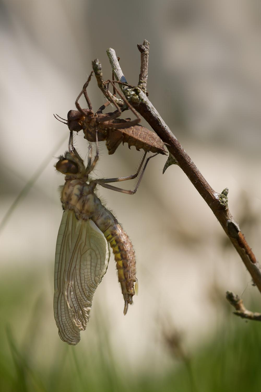 Epitheca bimaculata - Lesklice velka 0857-Edit
