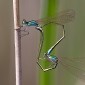 Nehalennia speciosa 3531